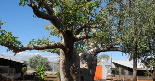 Image of Boab tree inside West Kimberley Prison