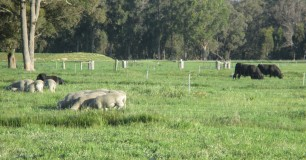 Image of cattle and sheep in a field at Padelup Farm