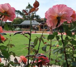 Image of pink roses in the garden, with the Library at Boronia Pre-release Centre for Women in the background